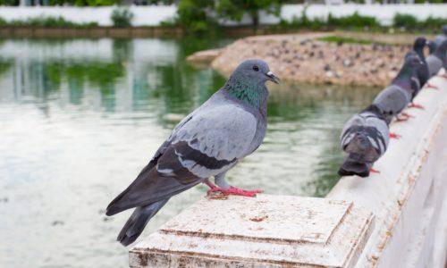 Pulizia guano piccioni
