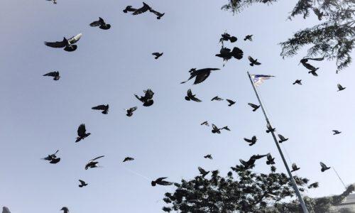 Allontanamento dei piccioni